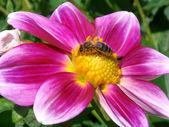 Honey bee feeding on dahlia flower — Stock Photo