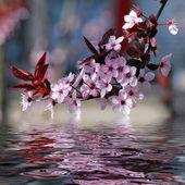 Dekoratif kiraz ağacı çiçekleri — Stok fotoğraf