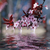 Decorative cherry tree blossoms — Stock Photo