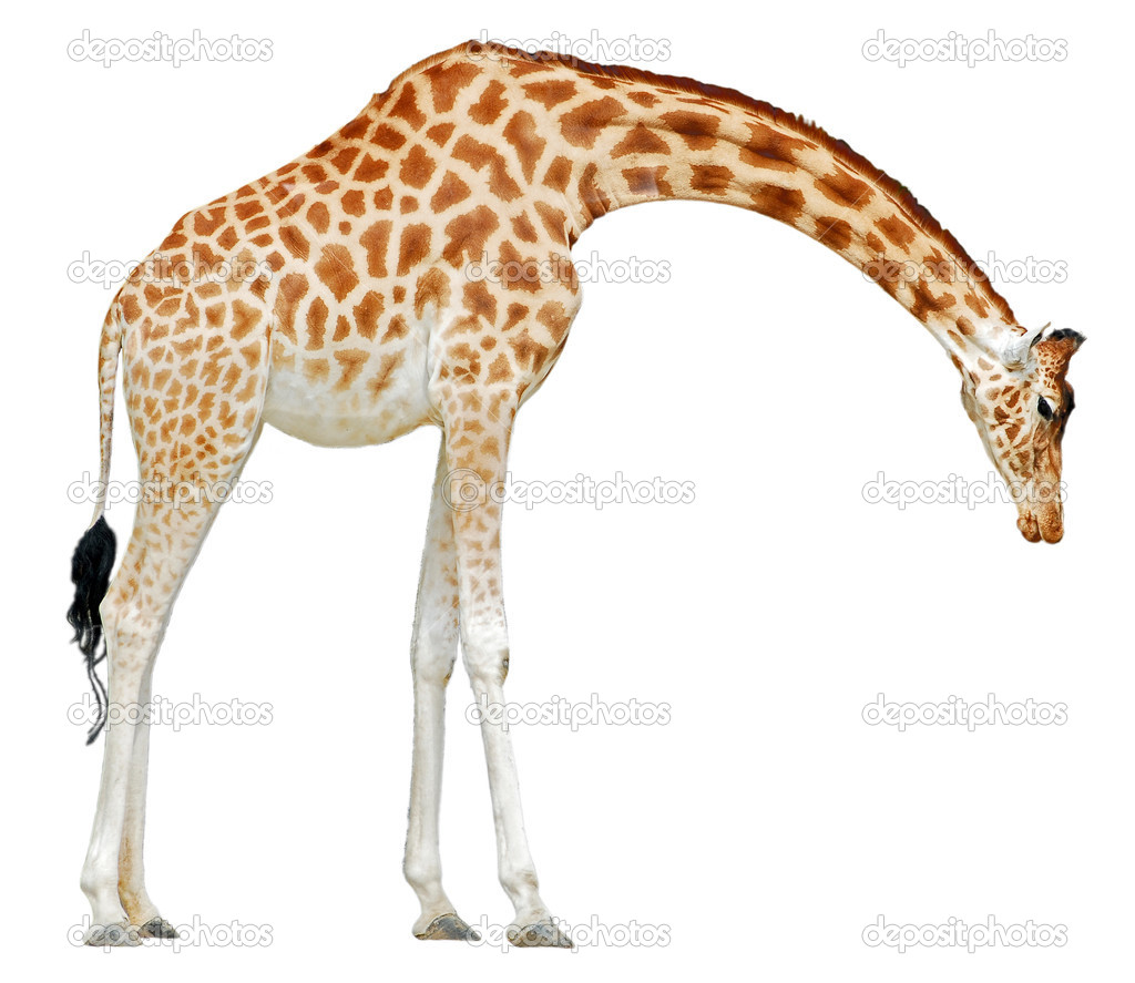 Isolated giraffe — Stock Photo © Christian #2560244: depositphotos.com/2560244/stock-photo-isolated-giraffe.html