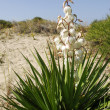 White flowers yucca - Stock Photo