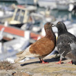 Couple of pigeons — Stock Photo #2576511