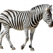 Stock Photo: Isolated Burchell Zebra