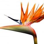 Isolated Bird of paradise flower — Stock Photo