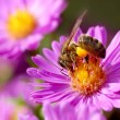 Stock Photo: Noney bee and pollination