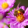 Noney bee and pollination — Stock Photo