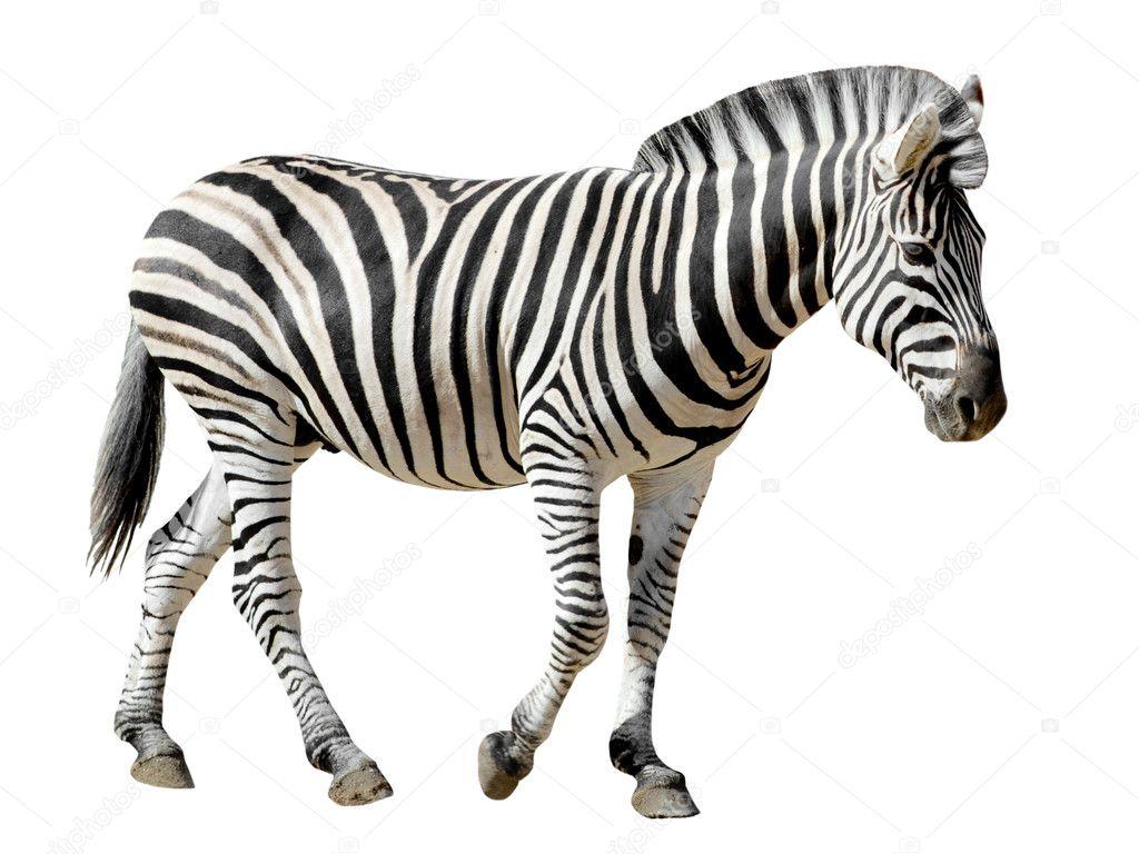 Burchell zebra walking in  Zebra