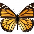 Isolated monarch butterfly - Stock Photo
