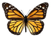 Isolated monarch butterfly — Stock Photo