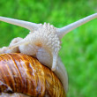 Stock Photo: Portrait of snail