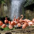 Group of Carribean flamingos — Stock Photo