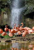Group of Carribean flamingos — Stock Photo