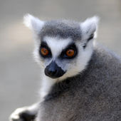 Portrait ring-tailed Lemur — Stock Photo