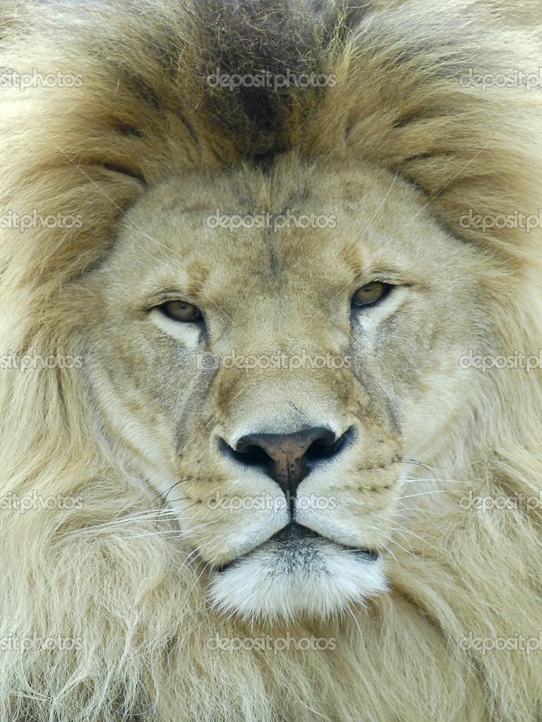 Portrait of lion (Panthera leo)   — Stock Photo #2605821