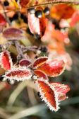 Jesień krzew pokryty szron — Zdjęcie stockowe