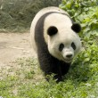 Giant Panda — Stock Photo #2629314