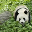 Royalty-Free Stock Photo: Giant Panda