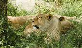 Wild lioness — Stock Photo