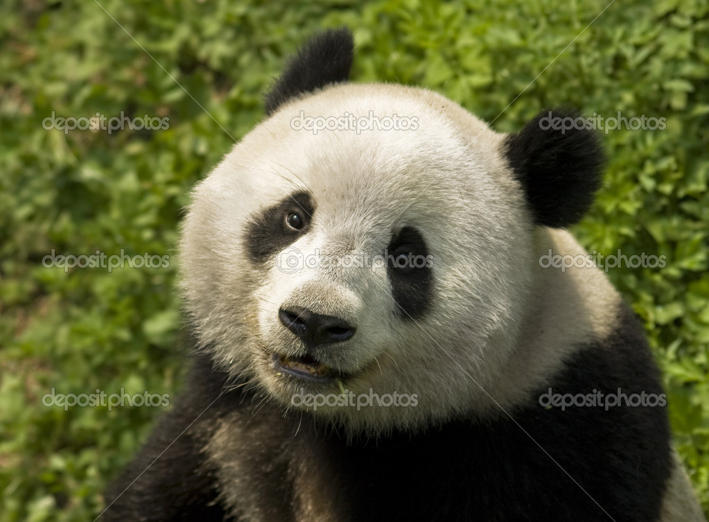 Close-up  Giant panda in national park photo — Stock Photo #2629319