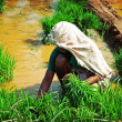 Woman, planting rice — Foto Stock