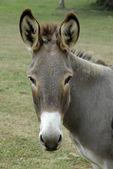 Portrait de l'âne — Photo