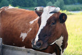 Brown cow front view — Stock Photo
