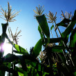 Corn Growing In A Field — Stock Photo #2562074