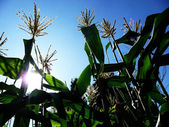 Corn Growing In A Field — Stok fotoğraf