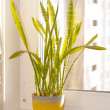 Indoor plant — Stock Photo