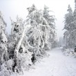 Frosted Forrest — Stock Photo