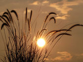 Backlit Grasses — Stock Photo