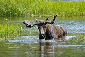 Moose — Stock Photo