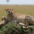 Cheetah with cub — Stock Photo #2566986