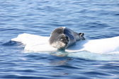 Leopard seal on ice floe in Antartica — Stock Photo