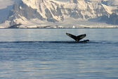 Whale fin and landscape in Antartica — Stock Photo