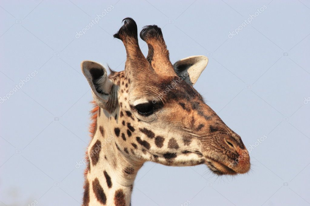 Giraffe head close up - photo#25
