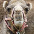 Close of a Camel - Stock Photo