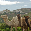 Close of Three Camels - Stock Photo