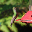Stock Photo: Colibri