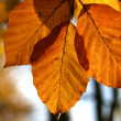 Beech tree in autumn - Stock Photo