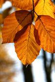 Buk drzewo jesień — Zdjęcie stockowe