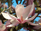 Magnolia blossom — Stock Photo