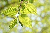 Green foliage in springtime — Stock Photo