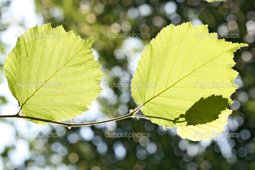 Leaves of a hazel bush in back light  Stock Photo #2649551