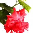 Hibiscus rosa-sinensis — Stock Photo