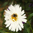 Bumblebee on aster — Stock Photo