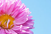 Beautiful aster over blue sky — Stock Photo