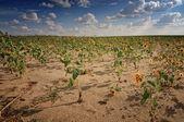 Summer sunflowers — Stock Photo