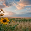 Stock Photo: Sunflowers at sunset