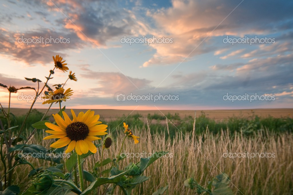 Five sunflowers against a blue and orange sunset. — Stock Photo #2581698